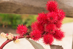 Красный цвет Carmencita Ricinus Communis Стоковое Изображение RF