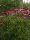 Красный цвет 02 Casanova bipinnatus космоса Стоковые Изображения RF