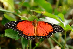 красный цвет cethosia бабочки biblis lacewing стоковые фото