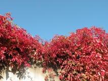 красный цвет creeper Стоковая Фотография