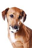 красный цвет dachshund шарика стоковое изображение rf
