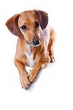 красный цвет dachshund Стоковые Изображения