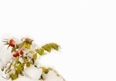 красный цвет dogrose ягод Стоковые Фото
