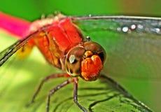 красный цвет dragonfly головной Стоковая Фотография