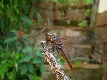 красный цвет dragonfly Стоковое Фото