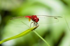 красный цвет dragonfly Стоковые Фотографии RF