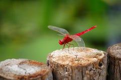 красный цвет dragonfly Стоковые Фото
