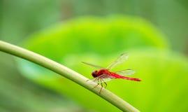 красный цвет dragonfly Стоковые Изображения RF