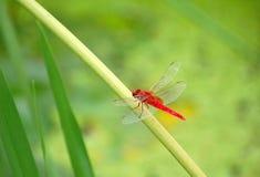 красный цвет dragonfly Стоковая Фотография
