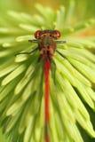 красный цвет dragonfly Стоковое фото RF
