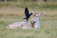 красный цвет elaphus оленей cervus Стоковое Фото