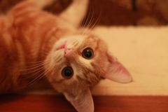 красный цвет eyed котом зеленый Стоковое Фото