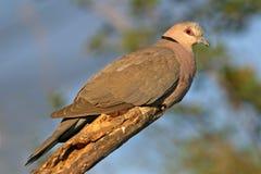 красный цвет eyed dove Стоковое Изображение