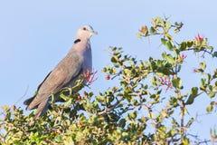 красный цвет eyed dove стоковое фото rf