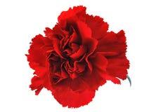 красный цвет flowe гвоздики Стоковое фото RF