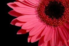 красный цвет gerber маргаритки Стоковая Фотография