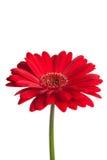 красный цвет gerber маргаритки Стоковое Изображение RF