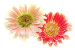 красный цвет gerber розовый Стоковая Фотография