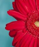 красный цвет gerber цветка Стоковые Изображения