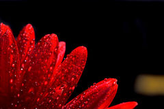 красный цвет gerber цветка стоковые изображения rf