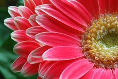 красный цвет gerber Стоковые Фото