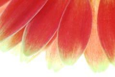 красный цвет gerber Стоковая Фотография