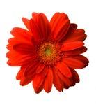 красный цвет gerber Стоковое фото RF