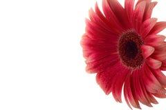 красный цвет gerber Стоковое Изображение RF