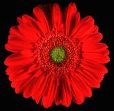 красный цвет gerber Стоковое Фото