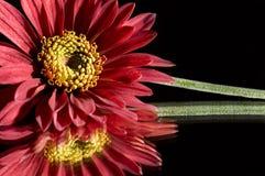 красный цвет gerber daisy4 Стоковые Изображения RF