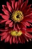 красный цвет gerber daisy7 Стоковое фото RF