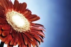 красный цвет gerbera предпосылки голубой Стоковая Фотография RF