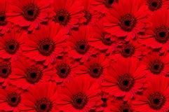 красный цвет gerbera предпосылки Стоковое фото RF