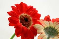 красный цвет gerbera симпатичный стоковая фотография