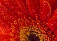 красный цвет gerbera цветка предпосылки Стоковые Изображения RF