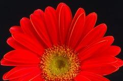 красный цвет gerbera Стоковая Фотография
