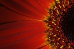 красный цвет gerbera Стоковая Фотография RF