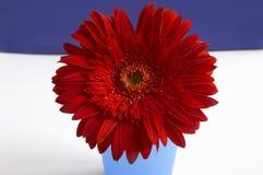 красный цвет gerbera Стоковые Изображения
