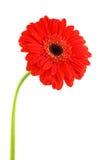 красный цвет gerbera Стоковое Изображение RF