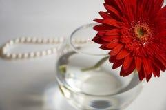 красный цвет gerbera Стоковые Фотографии RF