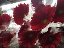 Красный цвет Gerbere Стоковое Изображение