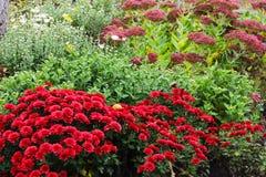 Красный цвет Goldendaisy Стоковые Изображения RF