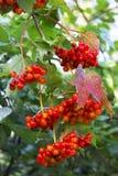 красный цвет guelder ягод поднял Стоковая Фотография