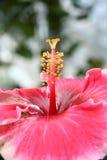 красный цвет gumamela цветка Стоковая Фотография