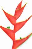 красный цвет heliconia Стоковое Фото