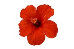 красный цвет hibiscus цветка Стоковые Изображения RF