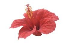 красный цвет hibiscus Стоковые Изображения RF