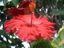 красный цвет hibiscus Стоковое Изображение RF