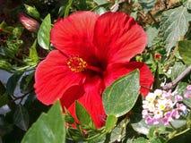 красный цвет hibiscus Стоковая Фотография