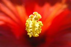 красный цвет hibiscus Стоковые Изображения